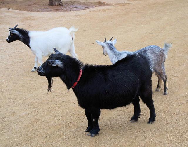 goats 3.jpg