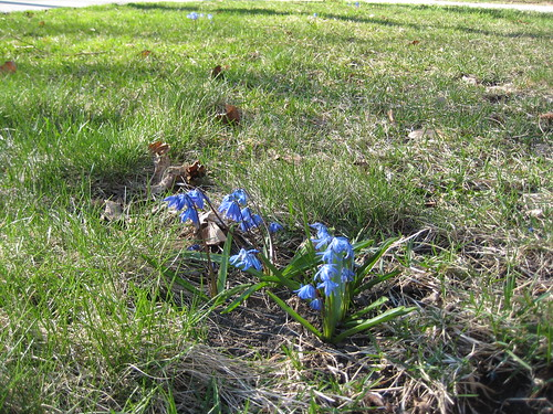 Front-yard scilla (by RPOPtream)