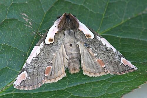 Dogwood Thyatirid - Euthyatira pudens