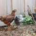 Chickies in Garden