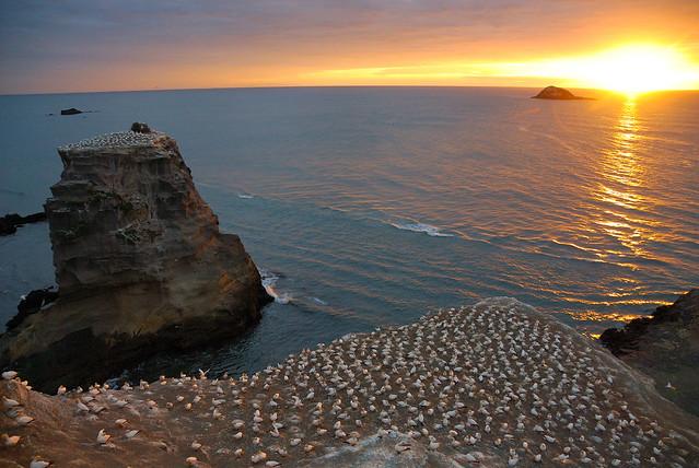 Gannet colony at dusk