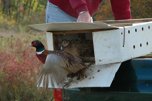 Ring-necked Pheasant Release