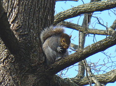 Walnut squirrel