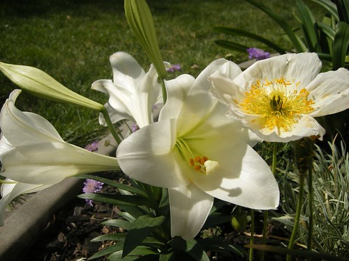 Easter Lily & Oriental Poppy