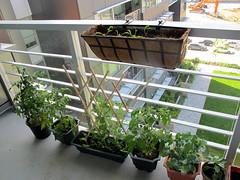 Balcony Vegetables
