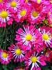 (c) Hilltown Families - Chrysanthemum Show at Smith