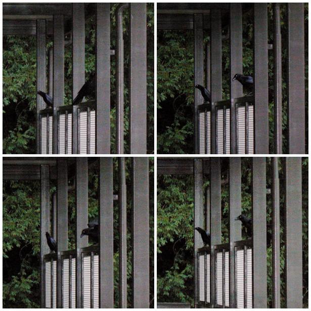 Ravens staying dry