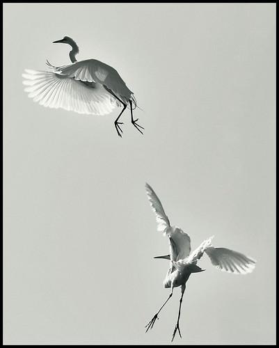 egrets in b&w (by *Karo*)