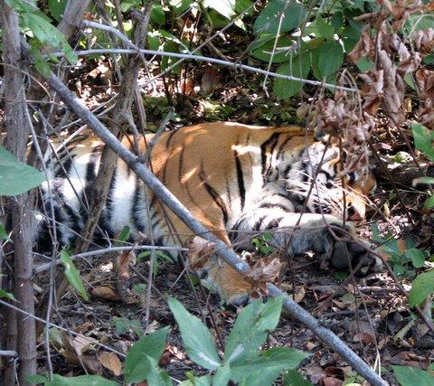 tigress lying in the undergrowth 231207