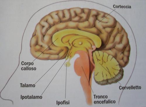 Struttura a strati del cervello