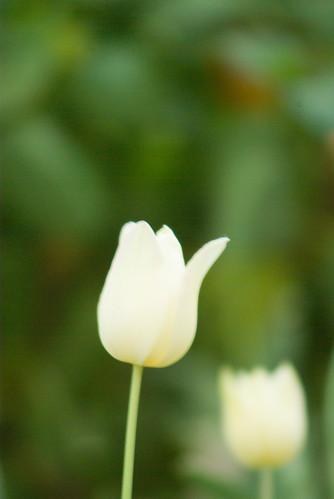 white tulip, istanbul tulip festival, pentax k10d