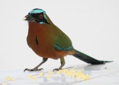Blue-crowned motmot eating cheese