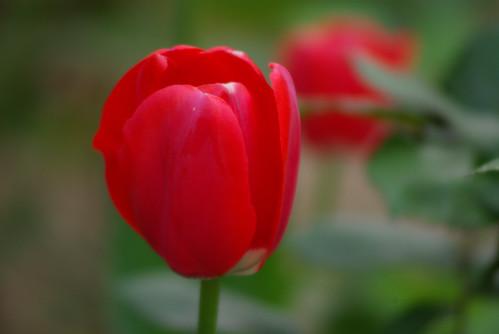 red tulip, istanbul tulip festival, istanbul, pentax k10d