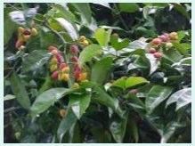 Belinjau tree
