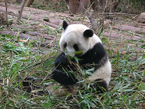 Pandaeating