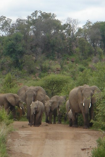 traffic jam of elephants