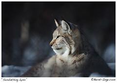 Sunbathing Lynx