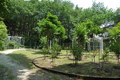 泉の森(ふれあいの森)―バラ園(Rose garden, Izuminomori park, Yamato, Kanagawa, Japan)