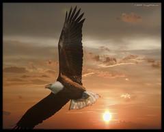 Bald eagle over York, Pennsylvania