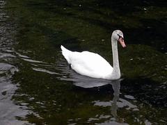 Cisne nadando en Hyde Park. Londres