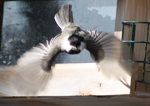 Chickadee in flight2