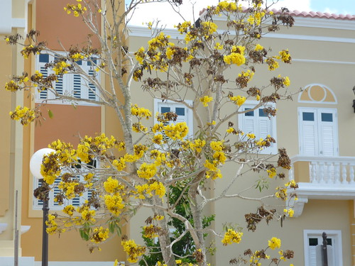 Yellow blossoms on a tree, Barranquitas