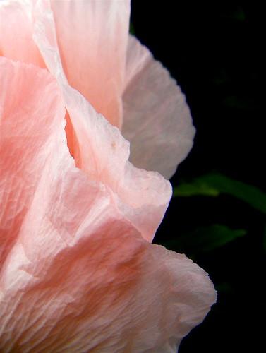 Pink Poppy 3