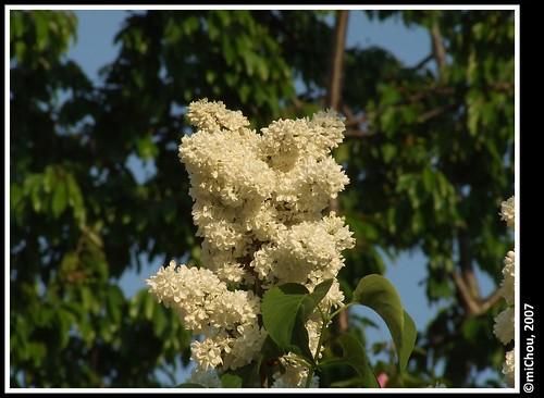 White lilas