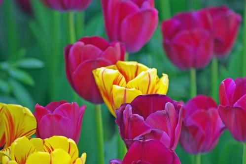 yellow-purple tulips, Istanbul tulip festival