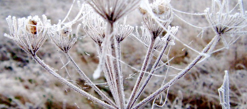 Frost on Weeds