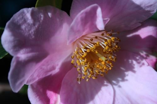 Camellia Stamens