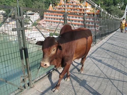 El toro fent el