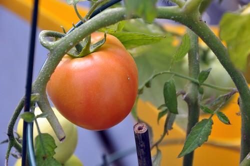 Erstes Foto von erster Tomate