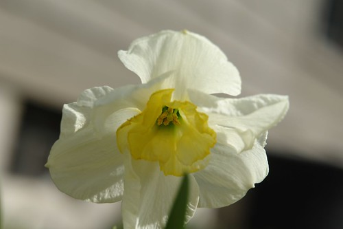 Third two colored daffodil