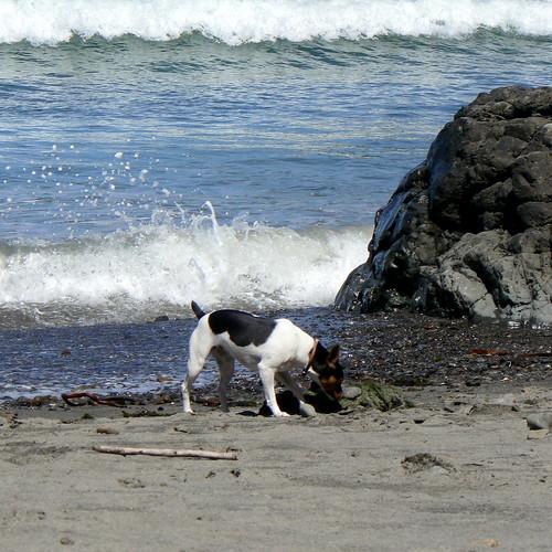 Ruby - Beach Dog!