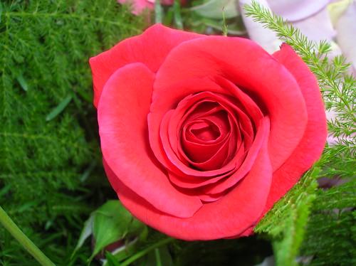 Rosas caseras 4