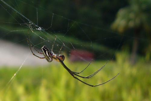 cuba araña pendiente