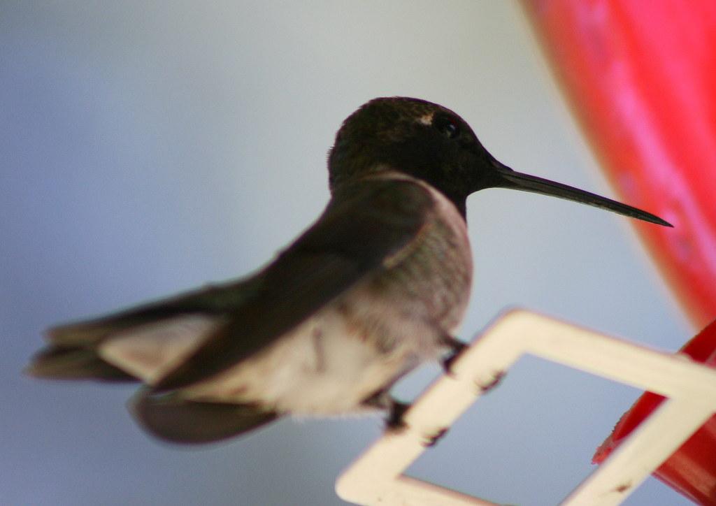 blackchinned male hummingbird