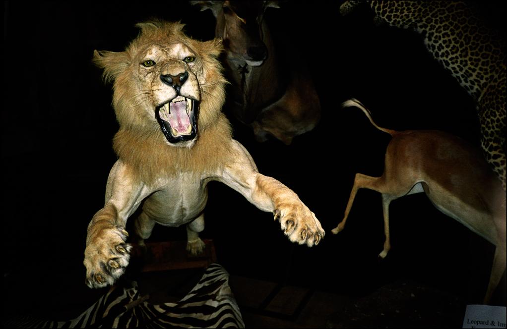 Aaaagh - Lions