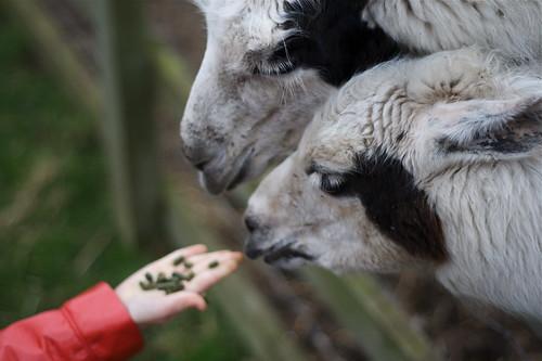 Feeding the Llamas (by rutty)