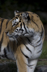 photo by Matt Knoth (this is the tiger in the story)