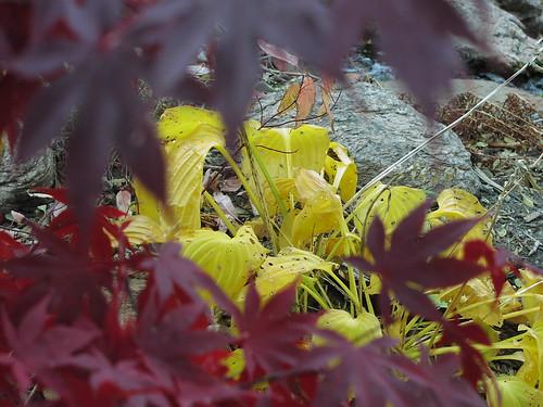 hosta, through Japanese maple
