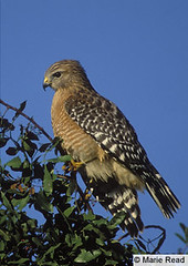 Red-shouldered Hawk - Cornell