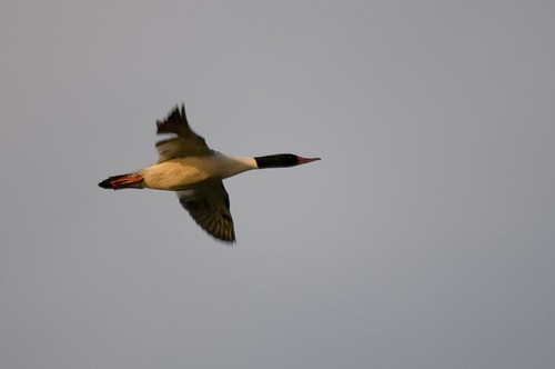 Sunset Flying Common Merganser
