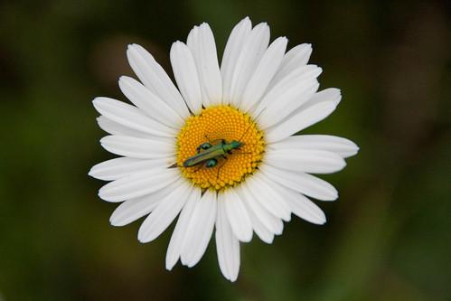 Fat-legged flower bettle