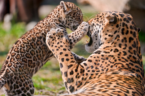 Mayra fighting with her mother by Tambako the Jaguar