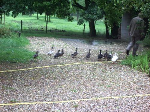 The ducks following Henry