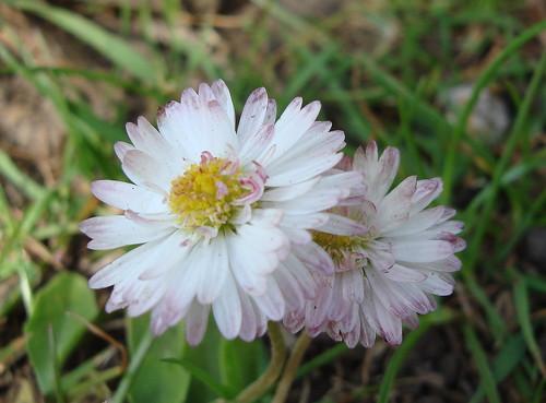 sweet pink laced petals - macro.may9