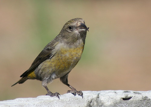 female red crossbill
