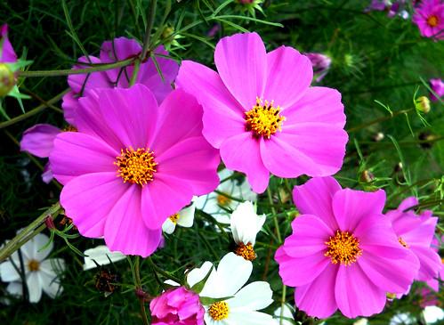 Flower@ Victoria flower garden -Nuvereliya